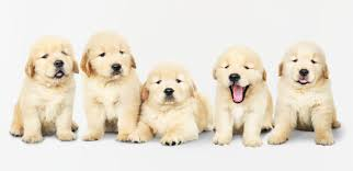 Cuidados de un Golden Retriever